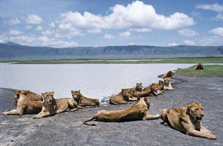ngorongoro-crater-safari-lions